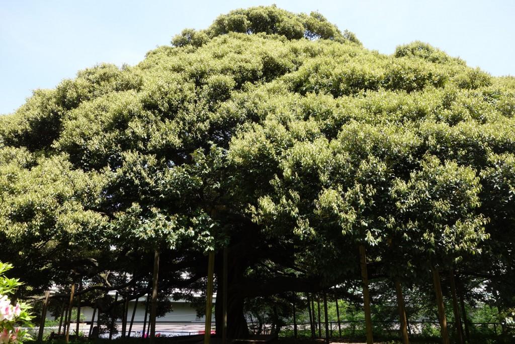 樹齢250年以上と云われる御神木「スダジイ」